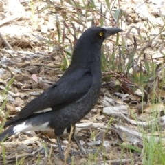 Strepera graculina (Pied Currawong) at Sth Tablelands Ecosystem Park - 31 Oct 2017 by AndyRussell