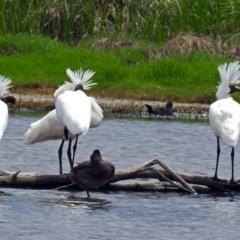 Platalea regia (Royal Spoonbill) at Jerrabomberra Wetlands - 23 Nov 2017 by RodDeb