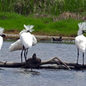 Platalea regia at Jerrabomberra Wetlands - 23 Nov 2017