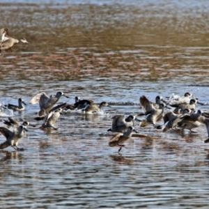 Malacorhynchus membranaceus at Jerrabomberra Wetlands - 13 Jul 2017
