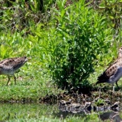 Gallinago hardwickii (Latham's Snipe) at Jerrabomberra Wetlands - 10 Nov 2017 by RodDeb