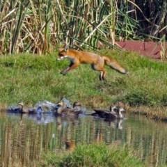 Vulpes vulpes (Red Fox) at Jerrabomberra Wetlands - 16 Apr 2017 by RodDeb