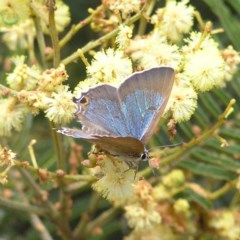 Jalmenus icilius (Amethyst Hairstreak) at Mount Taylor - 28 Nov 2017 by MatthewFrawley