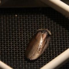 Laxta sp. (genus) (Bark cockroach) at Higgins, ACT - 15 Nov 2017 by Alison Milton