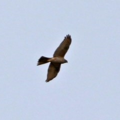 Accipiter fasciatus (Brown Goshawk) at Jerrabomberra Wetlands - 12 Sep 2017 by RodDeb