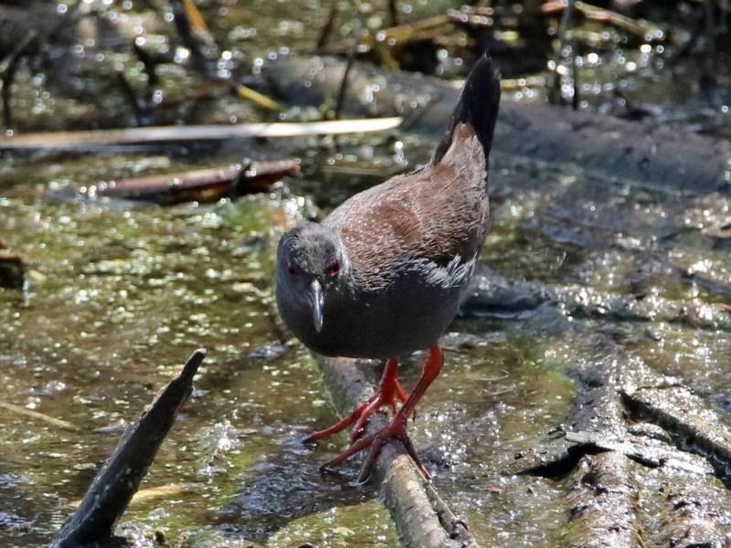 Zapornia tabuensis at Jerrabomberra Wetlands - 4 Oct 2017