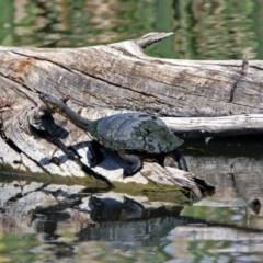 Chelodina longicollis (Eastern Long-neck Turtle) at Jerrabomberra Wetlands - 4 Oct 2017 by RodDeb