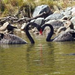 Cygnus atratus (Black Swan) at Tidbinbilla Nature Reserve - 21 Sep 2017 by RodDeb