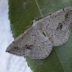 Taxeotis intextata (Looper Moth, Grey Taxeotis) at Higgins, ACT - 18 Nov 2017 by Alison Milton