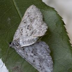 Psilosticha mactaria (Large Waved Bark Moth) at Higgins, ACT - 18 Nov 2017 by Alison Milton