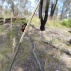 Arsipoda holomelaena (Red-legged flea beetle) at Aranda Bushland - 28 Nov 2017 by AndyRussell