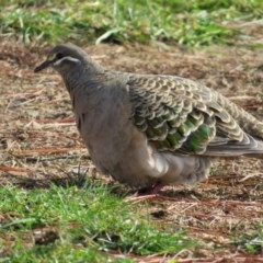 Phaps chalcoptera (Common Bronzewing) at National Zoo and Aquarium - 5 Jun 2017 by RodDeb