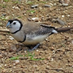 Taeniopygia bichenovii (Double-barred Finch) at Molonglo Valley, ACT - 4 Apr 2017 by RodDeb