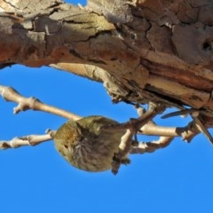 Acanthiza pusilla (Brown Thornbill) at Molonglo Valley, ACT - 13 Jun 2017 by RodDeb