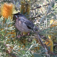 Anthochaera carunculata (Red Wattlebird) at ANBG - 14 Aug 2015 by RodDeb