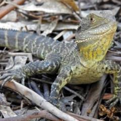 Intellagama lesueurii (Eastern Water Dragon) at Tidbinbilla Nature Reserve - 22 Nov 2017 by RodDeb