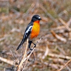 Petroica phoenicea (Flame Robin) at Tidbinbilla Nature Reserve - 7 Sep 2017 by RodDeb