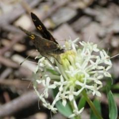 Trapezites phigalioides (Montane Ochre) at Tidbinbilla Nature Reserve - 27 Nov 2016 by RodDeb