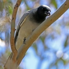 Coracina novaehollandiae (Black-faced Cuckooshrike) at Jerrabomberra Wetlands - 1 Nov 2017 by RodDeb