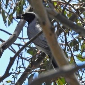 Coracina novaehollandiae at Jerrabomberra Wetlands - 1 Nov 2017