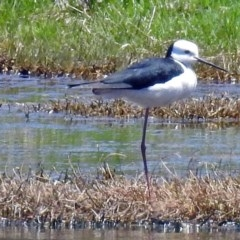 Himantopus leucocephalus (Pied Stilt) at Jerrabomberra Wetlands - 1 Nov 2017 by RodDeb