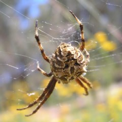 Backobourkia sp. (genus) (An orb weaver) at Mount Taylor - 29 Nov 2017 by MatthewFrawley