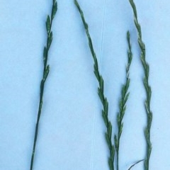 Lolium perenne (Perennial Ryegrass) at Hughes Garran Woodland - 28 Nov 2017 by ruthkerruish