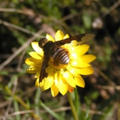 Bombyliidae sp. (family) (Unidentified Bee fly) at Mount Taylor - 29 Nov 2017 by MatthewFrawley