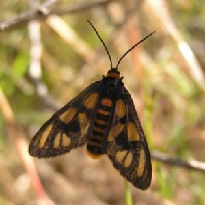 Amata (genus) at Mount Taylor - 30 Nov 2017
