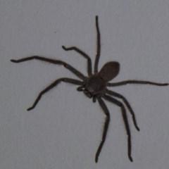 Isopeda sp.(genus) (Huntsman Spider) at Flynn, ACT - 10 Nov 2011 by Christine