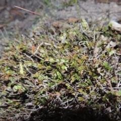 Bossiaea buxifolia (Bush Pea) at Rob Roy Range - 4 Nov 2017 by michaelb