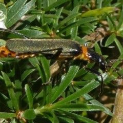 Chauliognathus lugubris (Plague soldier beetle) at ANBG - 12 Nov 2011 by Christine