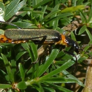Chauliognathus lugubris at ANBG - 13 Nov 2011