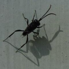 Evaniidae sp. (family) (Hatchet wasp) at Flynn, ACT - 12 Nov 2011 by Christine