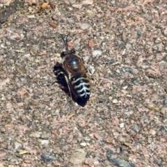 Bembix sp. (genus) (Unidentified Bembix sand wasp) at ANBG - 29 Nov 2017 by RodDeb