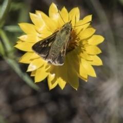 Trapezites luteus (Yellow Ochre, Rare White-spot Skipper) at The Pinnacle - 20 Nov 2017 by Alison Milton