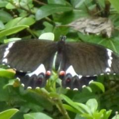 Papilio aegeus (Orchard Swallowtail) at Nanima, NSW - 8 Dec 2011 by Christine