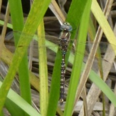 Adversaeschna brevistyla (Blue-spotted Hawker) at ANBG - 13 Dec 2011 by Christine