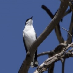 Lalage tricolor (White-winged Triller) at Majura, ACT - 20 Nov 2017 by Alison Milton