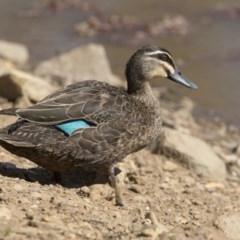 Anas superciliosa (Pacific Black Duck) at Mount Ainslie - 21 Nov 2017 by Alison Milton