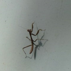Mantodea sp. (order) (Unidentified praying mantis) at Nanima, NSW - 8 Dec 2011 by Christine