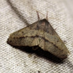 Antictenia punctunculus (A geometer moth) at O'Connor, ACT - 30 Nov 2017 by ibaird