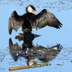 Microcarbo melanoleucos (Little Pied Cormorant) at Jerrabomberra Wetlands - 22 Feb 2017 by RodDeb