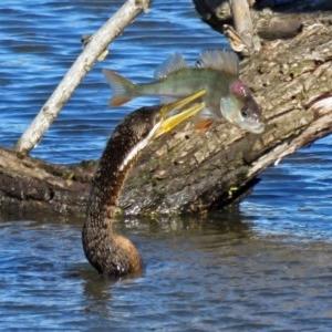 Anhinga novaehollandiae at Jerrabomberra Wetlands - 27 Apr 2017