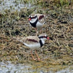 Elseyornis melanops (Black-fronted Dotterel) at Jerrabomberra Wetlands - 22 Mar 2017 by RodDeb