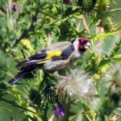 Carduelis carduelis (European Goldfinch) at Jerrabomberra Wetlands - 21 Feb 2017 by RodDeb