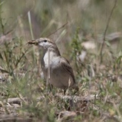 Lalage tricolor (White-winged Triller) at Majura, ACT - 21 Nov 2017 by Alison Milton