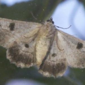 Cleora displicata at Wandiyali-Environa Conservation Area - 30 Nov 2017