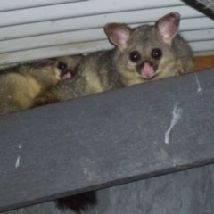 Trichosurus vulpecula (Common Brushtail Possum) at Jerrabomberra Wetlands - 15 Dec 2011 by Christine
