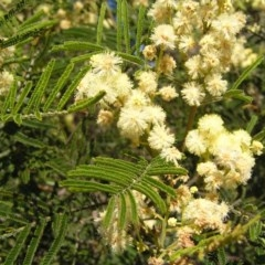 Acacia mearnsii (Black Wattle) at Mount Taylor - 29 Nov 2017 by MatthewFrawley